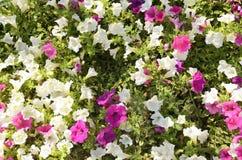 Цветок вьюнка Стоковые Изображения RF