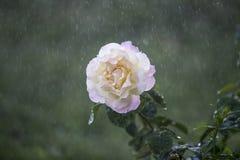 Цветок в дожде Стоковые Изображения