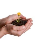 Цветок в почве пригорошни Стоковое Изображение RF
