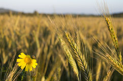 цветок в пшеничном поле на заходе солнца Стоковая Фотография RF