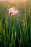 Цветок в рисовых полях Стоковая Фотография