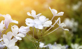 Цветок в саде и солнечном свете Стоковая Фотография