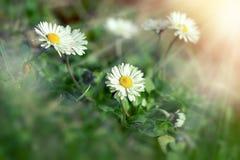 Цветок в луге, цветок маргаритки маргаритки осветил лучами солнца Стоковое фото RF