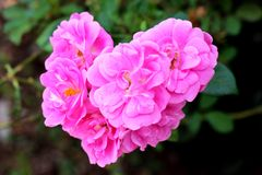 Цветок влюбленности Стоковое фото RF