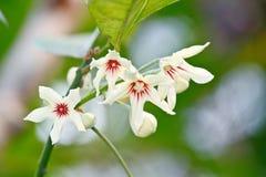 Цветок гайки Kola (nitida колы) Стоковое фото RF