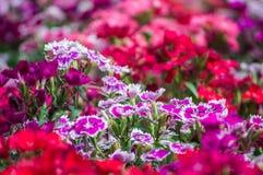 Цветок гвоздики зацветает в саде Стоковые Изображения RF