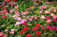 Цветок гвоздики Стоковое Изображение