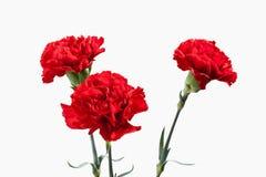 Цветок гвоздики букета красные Стоковое Изображение