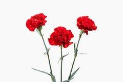 Цветок гвоздики букета красные Стоковые Фото