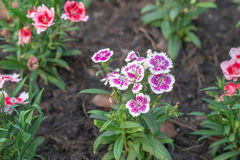 Цветок гвоздики в саде на дне Стоковое Изображение RF