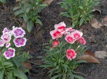 Цветок гвоздики в саде дома стоковое изображение rf