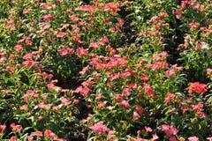Цветок гвоздики зацветая в утре Стоковые Изображения RF