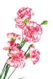 Цветок гвоздики изолированный на белизне Стоковое Изображение RF