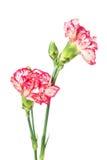Цветок гвоздики изолированный на белизне Стоковые Фотографии RF