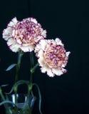 Цветок гвоздики на черной предпосылке, желтых цветках, весне Стоковые Изображения RF