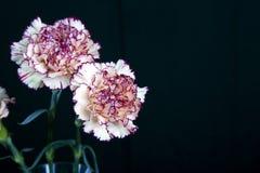 Цветок гвоздики на черной предпосылке, желтых цветках, весне Стоковые Фотографии RF