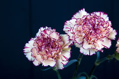 Цветок гвоздики на черной предпосылке, желтых цветках, весне Стоковая Фотография