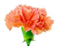 цветок гвоздики нерезкости предпосылки отсутствие белизны Стоковые Фото