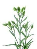 Цветок гвоздики Стоковые Изображения RF