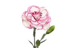 Цветок гвоздики Стоковые Фото