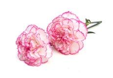 Цветок гвоздики Стоковое Фото
