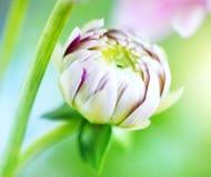 Цветок георгина бутона Стоковое фото RF