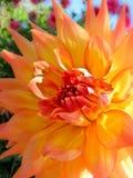 Цветок георгина в цветени Стоковая Фотография RF