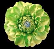 Цветок георгина, зеленый цвет, голубой центр, черная предпосылка изолированная с путем клиппирования closeup Стоковая Фотография RF