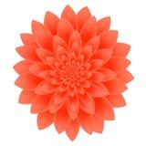 Цветок георгина изолированный на белой предпосылке Стоковое Фото