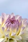 цветок георгина крупного плана стоковое изображение
