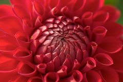 цветок георгина крупного плана стоковая фотография rf