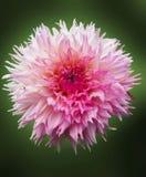 Цветок георгина на зеленой предпосылке стоковая фотография