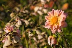 Цветок георгина на луге wildflower Стоковое Изображение RF