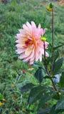 Цветок георгина против предпосылки зеленой травы в осени g Стоковые Изображения