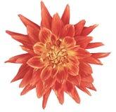 Цветок георгина свет-розов-желтый, белая предпосылка изолированная с путем клиппирования closeup без теней Большой, запятнанный,  Стоковые Фото