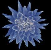 Цветок георгина сине-белый, черная предпосылка изолированная с путем клиппирования closeup без теней Большой, запятнанный, spiky  Стоковые Фотографии RF