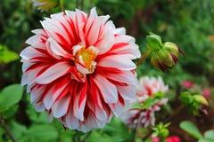 Цветок георгина Стоковая Фотография RF