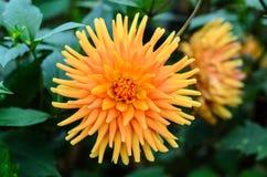 Цветок георгина Стоковые Изображения RF