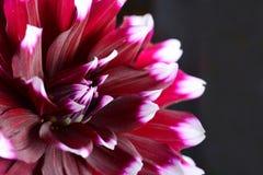 Цветок георгина Стоковое Фото