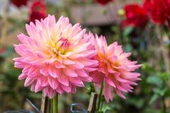 Цветок георгина Стоковые Фото
