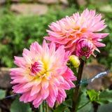 Цветок георгина Стоковая Фотография