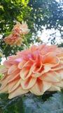 Цветок георгина Стоковое фото RF