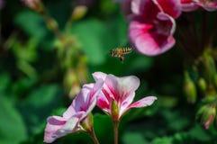 Цветок гераниума зацветает и пчелы в саде Стоковая Фотография RF
