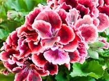 Цветок гераниума, конец вверх Стоковое Изображение RF