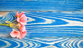 Цветок гераниума лож цвета коралла на белой предпосылке стоковая фотография rf