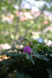 Цветок гераниума Стоковое Фото