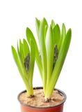 Цветок гиацинта в баке на белой предпосылке Стоковое фото RF