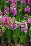 Цветок гиацинта зацветает в саде Стоковое фото RF