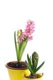 Цветок гиацинта и бутон гиацинта Стоковые Фото