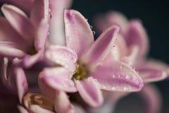 Цветок гиацинта с waterdrops Стоковые Изображения RF